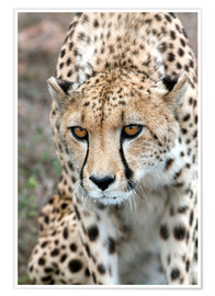 Premiumposter  Cheetah on foray, South Africa - Fiona Ayerst