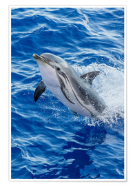 Premiumposter  Adult striped dolphin - Michael Nolan