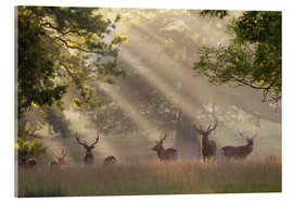 Akrylglastavla  Deer in morning mist - Stuart Black