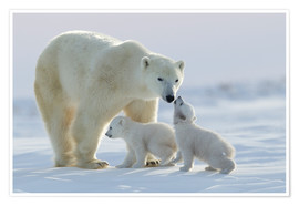 Poster  Polar bear family, Wapusk National Park - David Jenkins