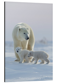 Aluminiumtavla  Polar bear (Ursus maritimus) and cubs, Wapusk National Park, Churchill, Hudson Bay, Manitoba, Canada - David Jenkins