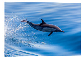 Akrylglastavla  Long-beaked common dolphin leaping - Michael Nolan