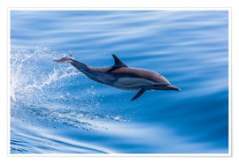 Premiumposter  Long-beaked common dolphin leaping - Michael Nolan