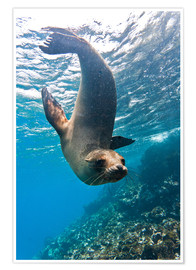 Premiumposter  Galapagos sea lion - Michael Nolan