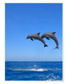 Premiumposter  Playful dolphins - Stuart Westmorland