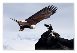 Premiumposter  Bald Eagle in flight - John Hyde
