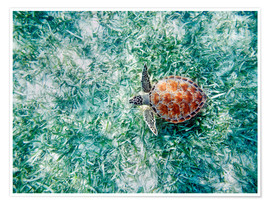 Premiumposter Green sea turtle