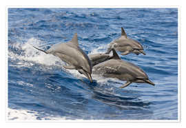 Premiumposter  Dolphins jump in - Dave Fleetham