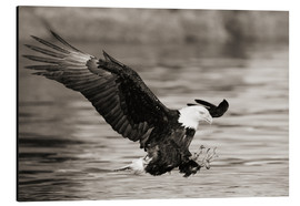 Aluminiumtavla  Bald Eagle Hunting - John Hyde