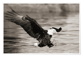 Poster  Bald Eagle Hunting - John Hyde