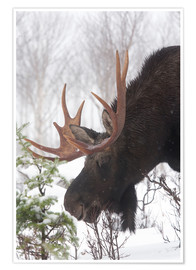 Premiumposter  Moose in Winter - Philippe Henry