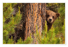 Premiumposter  Grizzly bear behind a tree - Robert Postma