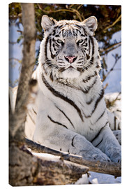 Canvastavla  White Bengal Tiger - Chad Coombs