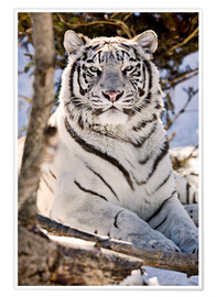 Premiumposter  White Bengal Tiger - Chad Coombs