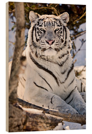 Trätavla  White Bengal Tiger - Chad Coombs