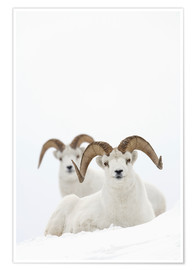 Premiumposter Two sheep in the snow