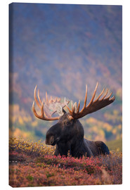 Canvastavla  Moose bull in a pasture - Milo Burcham
