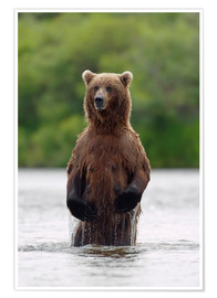 Premiumposter Brown bear in Katmai National Park