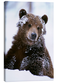 Canvastavla  Grizzly in the snow - Doug Lindstrand