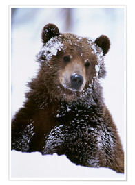 Premiumposter  Grizzly in the snow - Doug Lindstrand