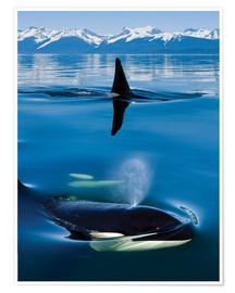 Premium poster  Whales in front of the Range Mountains - John Hyde