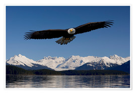 Premiumposter  Bald Eagle in Tongase National Forest - John Hyde