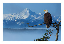Premiumposter  Bald Eagle on a Spruce - John Hyde