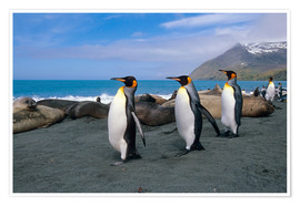 Premiumposter  King Penguins on South Georgia Iceland - Tom Soucek