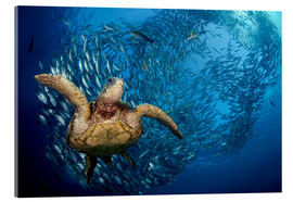 Akrylglastavla  Green sea turtle before Bali - Dave Fleetham
