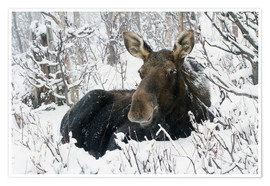 Premiumposter  Cow elk in a winter forest - Philippe Henry