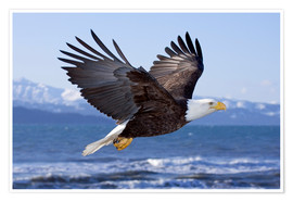 Premiumposter  Flying Bald Eagle - Don Pitcher