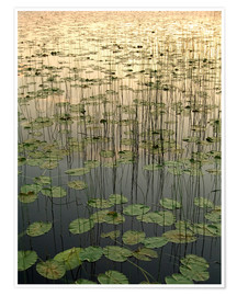 Premiumposter Water lilies on the Deadman Lake