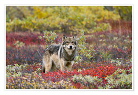 Premiumposter  Gray Wolf in the tundra - Gary Schultz