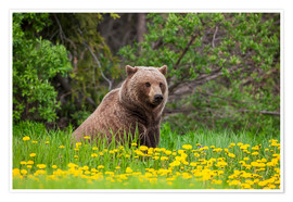 Premiumposter A brown bear on a dandelion meadow