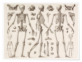 Premiumposter  Skeleton Of A Fully Grown Human - Wunderkammer Collection
