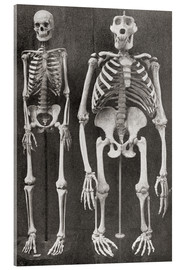 Akrylglastavla  Skeletons Of Man and Gorilla - Ken Welsh