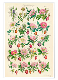Premiumposter  Wildflowers - Sowerby Collection