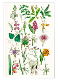 Premiumposter  Wild Flowers - Sowerby Collection