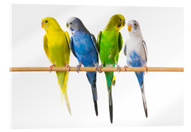 Akrylglastavla  Budgies on a perch - Corey Hochachka