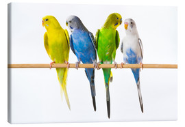 Canvastavla  Budgies on a perch - Corey Hochachka