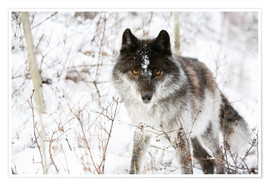 Premiumposter Wolf In The Snow