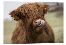 Akrylglastavla  Highland Cattle Licking It's Lips - John Short