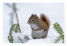 Premiumposter  Red squirrel - Philippe Henry