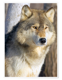 Premiumposter  Timber Wolf - John Pitcher