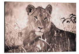 Aluminiumtavla  Lioness between grasses - David DuChemin