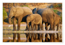 Premiumposter Elephants at a river, Africa wildlife