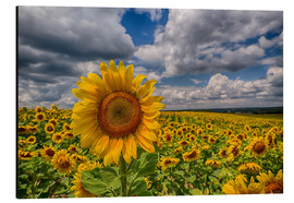 Aluminiumtavla  King of Sunflowers - Achim Thomae
