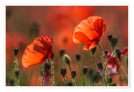 Premiumposter Poppies in Provence