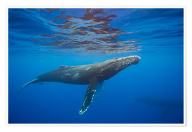 Premiumposter Humpback whale under water