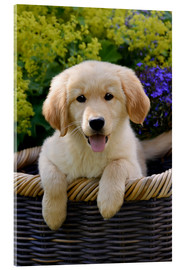 Akrylglastavla  Cute Golden Retriever Puppy - Katho Menden